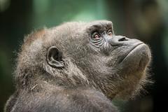 2018-03-06-14h11m16.BL7R0444 (A.J. Haverkamp) Tags: canonef100400mmf4556lisiiusmlens amsterdam noordholland netherlands zoo dierentuin httpwwwartisnl artis thenetherlands gorilla sindy pobrotterdamthenetherlands dob03061985 nl shindy dod12022019 podamsterdamthenetherlands