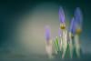 Crocus (michel1276) Tags: olympus zuiko 18028 flower crocus krokus makro macro bokeh bokehlicious