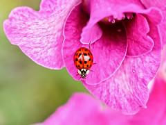 Happiness is... (Silke Klimesch) Tags: smileonsaturday happinessis thelittlethingsinlife ladybug ladybird ladybeetle coccinella coccinellidae 18 18spotladybird myrrhaoctodecimguttata flower pink red green summer hamburg plantenunblomen marienkäfer blume glück rot grün coccinelle gărgăriță buburuză joaninha mariquita πασχαλίτσα biedronka uğurböceği божьякоровка 瓢虫 fleur flor fiore kwiat floare λουλούδι цветок 花朵 bonheur felicità fericire felicidad felicidade