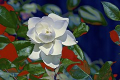 White Rose of Bulla! (maginoz1) Tags: abstract art flowers tomthumb rose white pink foliage contemporary manipulation curves bulla melbourne victoria australia summer january 2018 canon g3x