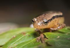 Southern Two-lined Salamander (cre8foru2009) Tags: southerntwolinedsalamander euryceacirrigera amphibian herping nature wildlife macro