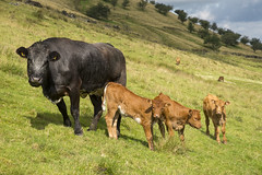 Youngsters (Keartona) Tags: hayfield summer sunny calves cows cow livestock cattle animals hillside derbyshire peakdistrict highpeak day cute