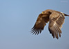 On a Hunt... (Anirban Sinha 80) Tags: nikon d610 500mm f4 ed vrii n g bokeh bird raptor eagle flight wings wildlife