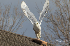 Snow Owl takes flight - sequence - 3 of 9