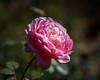 2017 Autumn Rose (shinichiro*@OSAKA) Tags: 20171121sdqh1907 2018 2017 crazyshin sigmasdquattroh sdqh sigma1835mmf18dchsm november autumn rose yokohama kanagawa 横浜イングリッシュガーデン バラ japan jp 27991490009 candidate