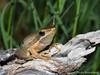 Slender tree frog - Litoria adelaidensis (paulajie) Tags: slender tree frog litoria adelaidensis wildlife nature fauna olympus omd omdem1markii perth western australia animal