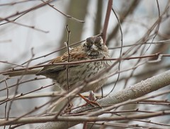 Song sparrow (Goggla) Tags: nyc new york manhattan battery park urban wildlife bird song sparrow songsparrow batterypark
