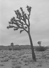 Heliotropism (baro-nite) Tags: joshuatree yucca brevifolia mojave desert bw mediumformat film ilford fp4 ddx pentax 645n smcpentaxfa64512875mm epsonv700 affinityphoto