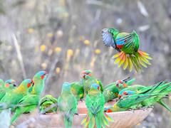 Musk Lorikeets (Matt OZW) Tags: musklorikeet bird australia victoria