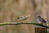 discussion entre gros-bec casse-noyaux (Philippe Renauld) Tags: grosbec cassenoyaux oiseaux ariège mazères calmont hautegaronne occitanie branche france fr