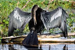 Anhinga (photosbylag) Tags: circleb alligators cardinal greenheron hogs piglets