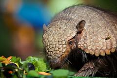 Tatu Peludo (Chaetophractus villosus) (Carlos Santos - Alapraia) Tags: tatupeludo gc ourplanet animalplanet canon nature natureza wonderfulworld highqualityanimals unlimitedphotos fantasticnature