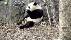 2018_01-31 (gkoo19681) Tags: beibei chubbycubby fuzzywuzzy adorableears brighteyed treattime feetsies toocute sugarcane adorable precious meltinghearts contentment ccncby nationalzoo