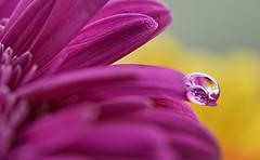 Drops on petals (pasquale di marzo) Tags: gerbera fiore gocce macro 2018