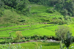 Lake Maninjau - Fertile Paddy Fields of Rice (Drriss & Marrionn) Tags: travel lakemaninjau outdoor sumatra indonesia asia rice planting green water ricefield landscape grass forest mountain paddyfield paddyfields field river house