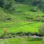 Lake Maninjau - Fertile Paddy Fields of Rice thumbnail