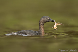 New Zealand Dabchick with Tadpole(Poliocephalus rufopectus)