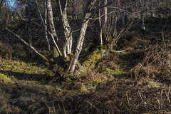 This is just odd! (prajpix) Tags: downy birch woods woodland forest trees deciduous hardwood highlands scotland invernessshire nature winter