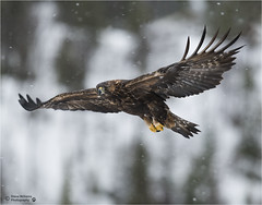 GOLDEN EAGLE SOARING OVER THE MOUNTAINS (d1ngy_skipper) Tags: golden eagle goldeneagle raptors europeanwildlife europeanbirds britishwildlife britishbirds birdsofprey scotland norway