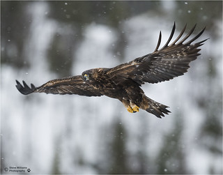 GOLDEN EAGLE SOARING OVER THE MOUNTAINS