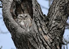 Eastern Screech Owl...#7 (Guy Lichter Photography - 3.7M views Thank you) Tags: canon 5d3 canada manitoba winnipeg wildlife animals bird birds owl owls easternscreechowl