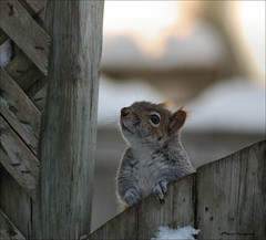 """ What's going on up here ? "" (John Neziol) Tags: jrneziolphotography portrait greysquirrel squirrel snow animalphotography animal animalantics brantford bright beautiful outdoor nikon nikoncamera nikondslr nikond80 nature naturallight wildlife fur funny mammal bokeh fence"