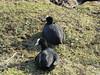 Coots (Deanne Wildsmith) Tags: earthnaturelife stowepool lichfield coot staffordshire