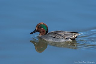 Green-winged Teal (Eurasian) ©