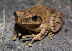 Polypedates sp. (Kuan880611) Tags: polypedates braueri megacephalus 夜觀 小粗坑 台灣 taiwan 斑腿樹蛙 布氏樹蛙