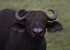 Cape Buffalo (ashockenberry) Tags: cape buffalo nature naturephotography wildlife wildlifephotography ashleyhockenberryphotography ngorongoro crater national park tanzania africa