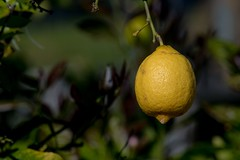 2017 Lemon On A Tree 4 (DrLensCap) Tags: lemon on a tree temecula california ca fruit citrus robert kramer