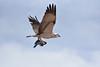 Falco pescatore (sirVictor59) Tags: nikon sirvictor59 70300mm egitto africa falcopescatore falco pesce sharmelsheik