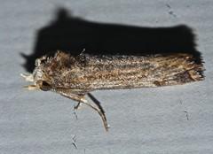 Razor back Tusker boar moth Hypsoropha sp Hypocalinae Erebidae Airlie Beach rainforest  P1270776 (Steve & Alison1) Tags: razor back tusker boar moth airlie beach rainforest 8mm long hypsoropha sp hypocalinae erebidae