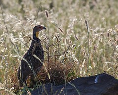 Fowl in the Reeds (liam.ragan) Tags: bird birds pajaro pajaros oiseau oiseaux fowl kenya nairobi nairobinationalpark silhouette goldenlighting reeds grass sun sunlight
