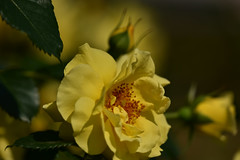 Rose 'EverGreen' raised in Germany (naruo0720) Tags: rose germanrose evergreen バラ ドイツのバラ エバーグリーン sigmalenses