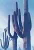 Saguaros (wrenee.com) Tags: 2017 35mm 800 film canonae1 cinestill800t december saguaro tucson arizona saguaronationalpark desert 800t cinestill pakonf135
