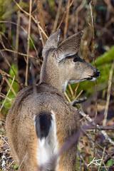 _DSC6270.jpg (kasperisummanen) Tags: birds nisquallynationalwildliferefuge wa pnw wildlife