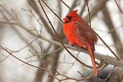 Cardinal rouge / Northern Cardinal (alainmaire71) Tags: bird cardinalidae cardinaliscardinalis cardinalrouge northerncardinal nature quebec canada