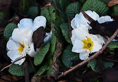 DSC_8879 Primroses (PeaTJay) Tags: nikond750 sigma reading lowerearley berkshire macro micro closeups gardens outdoors nature flora fauna plants flowers primrose primroses