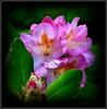 Natural Wonder (dimaruss34) Tags: newyork brooklyn dmitriyfomenko image flower azalea