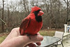Cardinal Recovery (brucetopher) Tags: bird cardinal red male hand hold nurture help recovery recover concussion crash injured storm casualty birds birding birdwatching watch watching avian animal wild wildlife newengland newenglandbirds