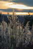 Whispering Grass (sdupimages) Tags: landscape roseaux sunset reed plantes nature grass light lumieres backlite