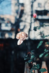 (N.K PhotoTimeline) Tags: flower flowers beauty rose gold pink photo photography nice woderfull colors colorfull nature goodmorning good