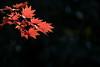 20180117 昭和記念公園【日本庭園の紅葉】 (syashindorakunin) Tags: 紅葉 昭和記念公園 日本庭園 autumnleaves maple japan showakinenpark