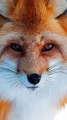 What does the fox say (kangmasseo) Tags: ghost recon wildlands wallpaper