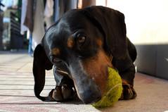 Pluto (urbanifausto) Tags: animals animali cani peloso dog bassotto