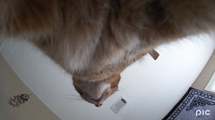 Koshki (zamburak) Tags: koshki yellow orange tabby cat 100xthe2018edition 100x2018 image2100 365the2018edition 3652018 day23365 23jan18