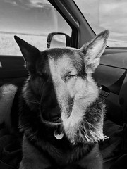 Lobo Portrait (GI Les) Tags: portrait dog sun shadow contrast german shepherd gsd beautiful relaxed sleepy car journey chilled passenger dartmoor cool spanish rescue rescued wolf friendly