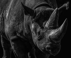 seltener Dickschädel - rare pighead (ralfkai41) Tags: spitzmaulnashorn portrait rhino blackrhino schwarzweis nature atiere monochrom sw bw animals natur porträt nashorn blackwhite