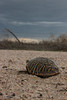 Ornate Box Turtle - Near Sand Creek, Colorado (BeerAndLoathing) Tags: t3i spring 2016 trip dramaticsky prarie wildlife rebel skies texastrip turtle colorado outdoors usa eos may roadtrip canon
